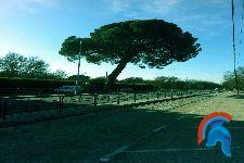 Pino centinela Boadilla del Monte